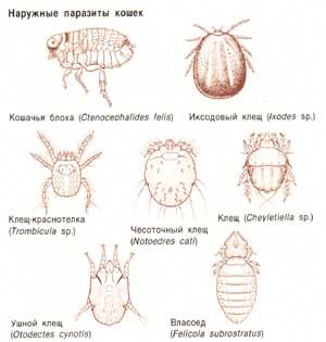 наружные паразиты человека